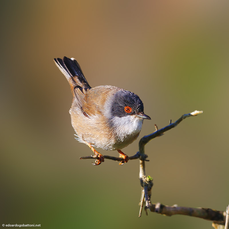 my beautiful world, Sardinian Warbler