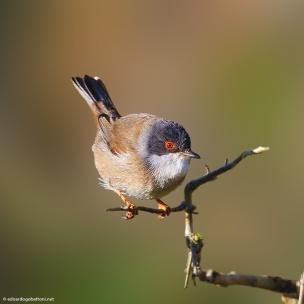 my beautiful world, Sardinian Warbler
