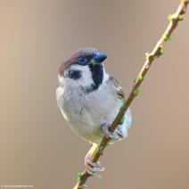 my beautiful world, tree sparrow