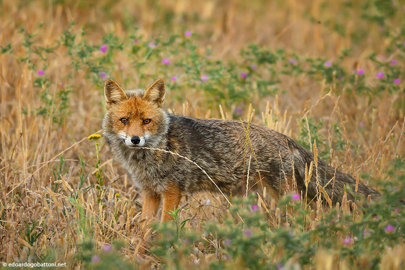 I shall love to listen to the wind in the wheat. . . said the fox