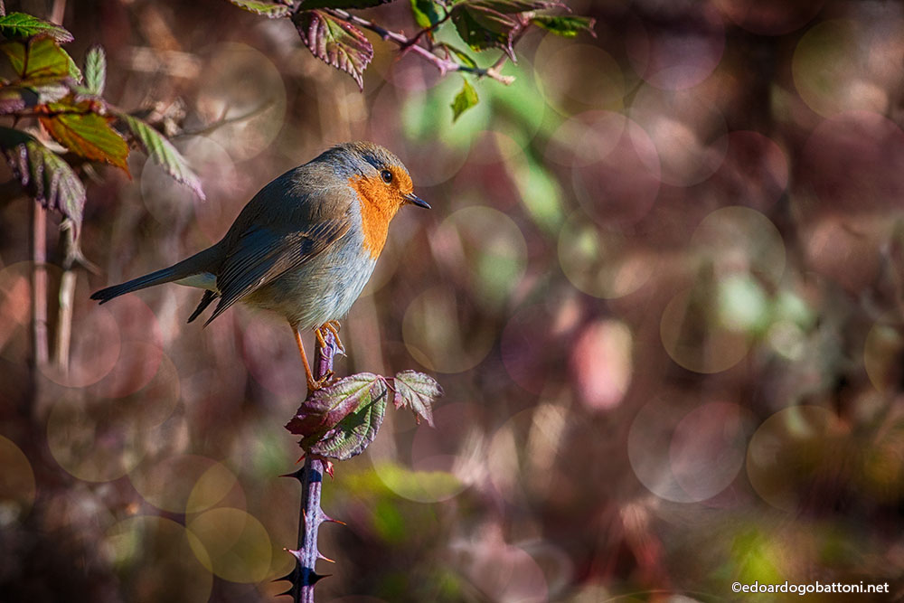 The little robin