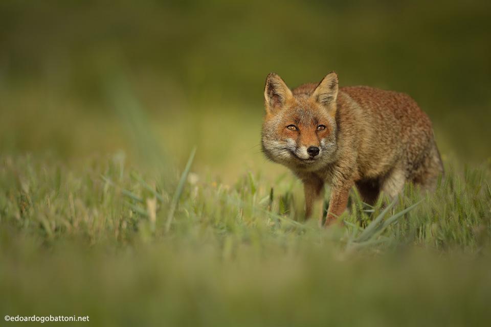 fox's secret
