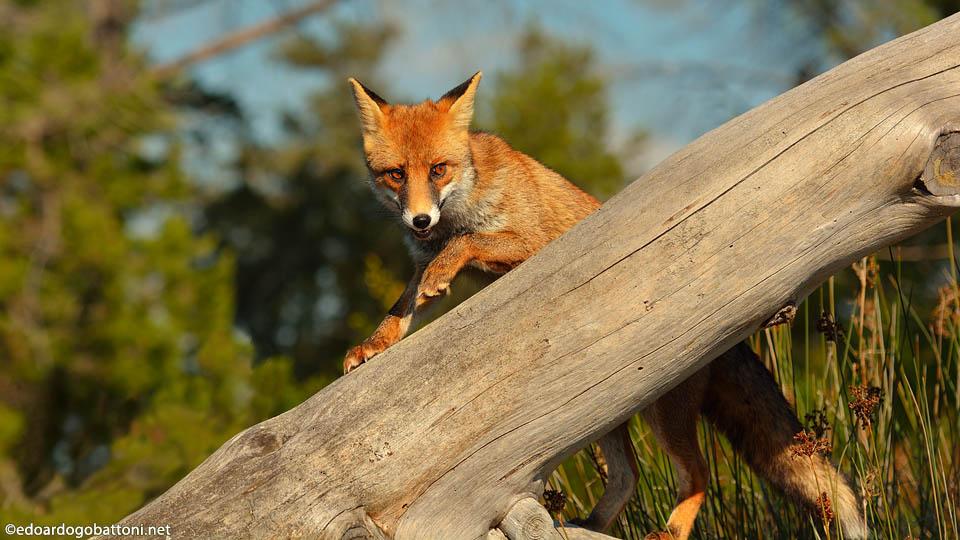 960-fox on the trunk-EDOARDO GOBATTONI