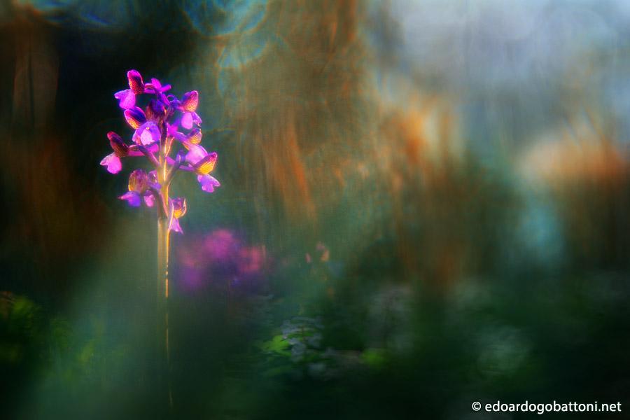 900-wild orchid #1 -EDOARDO GOBATTONI