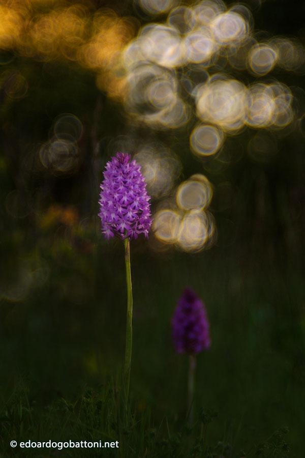 900-wild orchid #2 -EDOARDO GOBATTONI