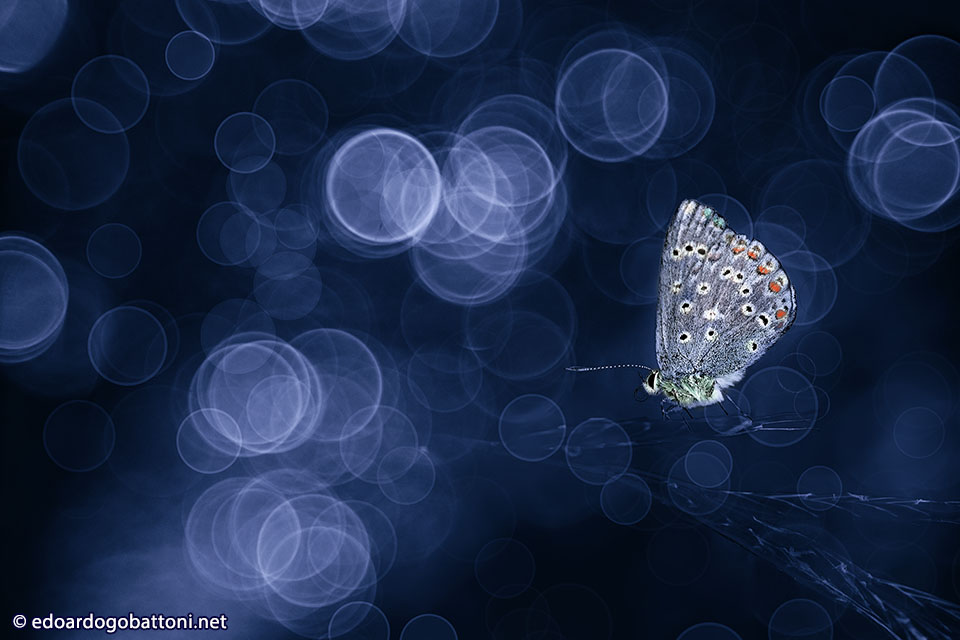960 Butterfly in blue -EDOARDO GOBATTONI