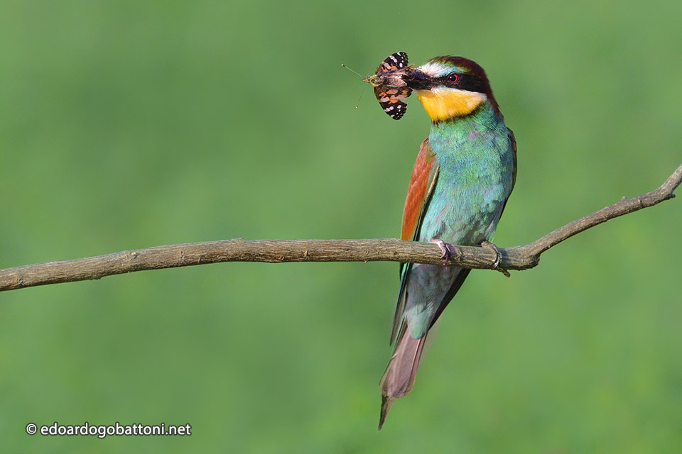 960-Bee-eater catching butterfly -EDOARDO GOBATTONI