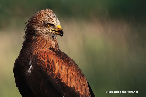 960-the-black-kite-edoardo-gobattoni