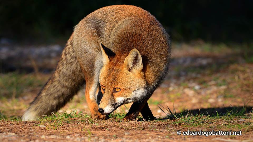 960-fox-attack-edoardo-gobattoni