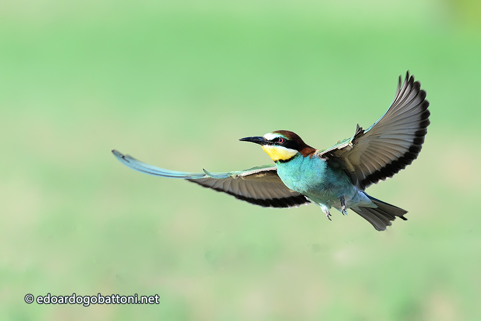 960-bee-eater in flight
